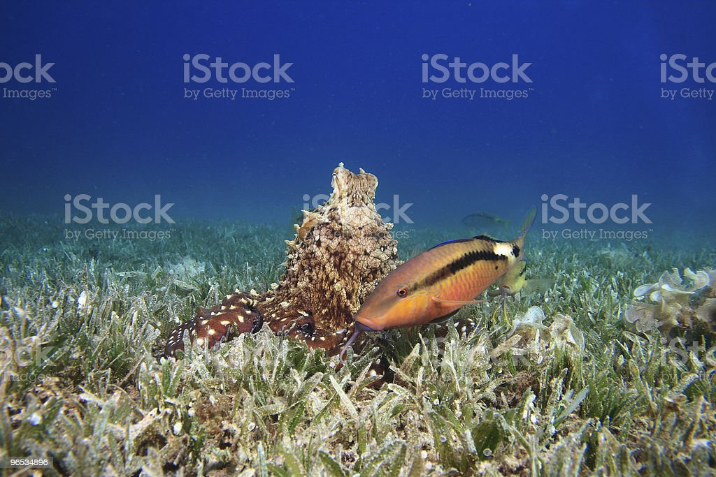 Octopus and Goatfish royalty-free stock photo