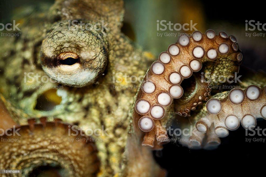 Octopus and tentacular suckers stock photo