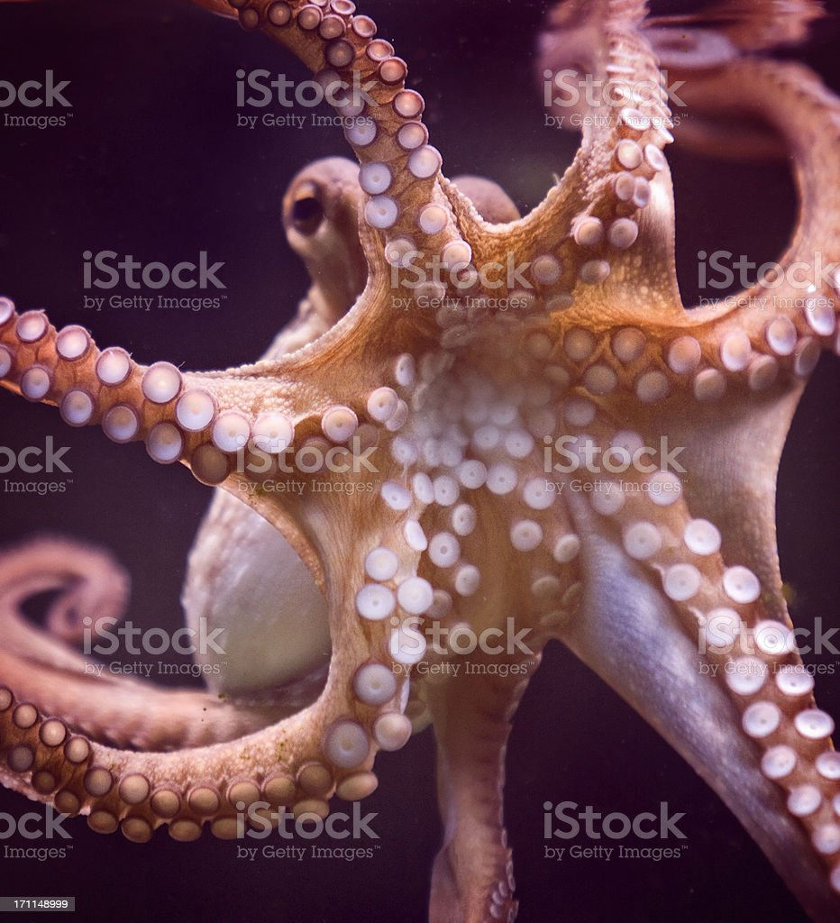 Octopus and tentacular suckers stock photo