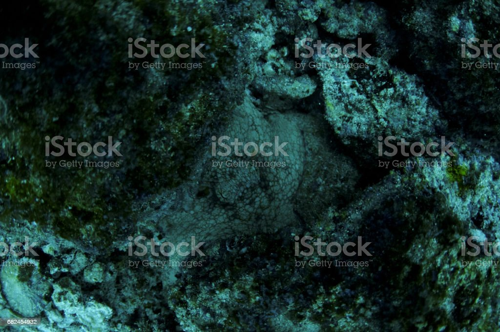 octopus camouflage in rocks royalty-free stock photo