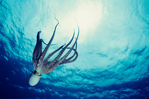octopus dive - octopus stock pictures, royalty-free photos & images
