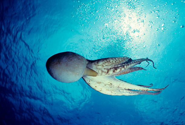 Octopus in Blue Water stock photo