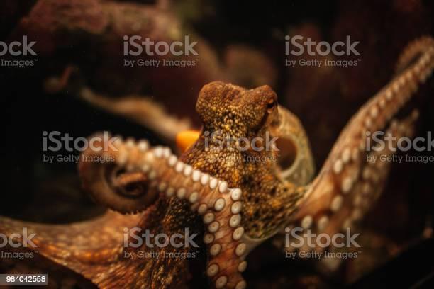 Octopus in the aquarium selective focus octopus looking straight into picture id984042558?b=1&k=6&m=984042558&s=612x612&h=fcj7uxgacckt3z7lsbrli2vkpcfeerrablx0jobosyg=