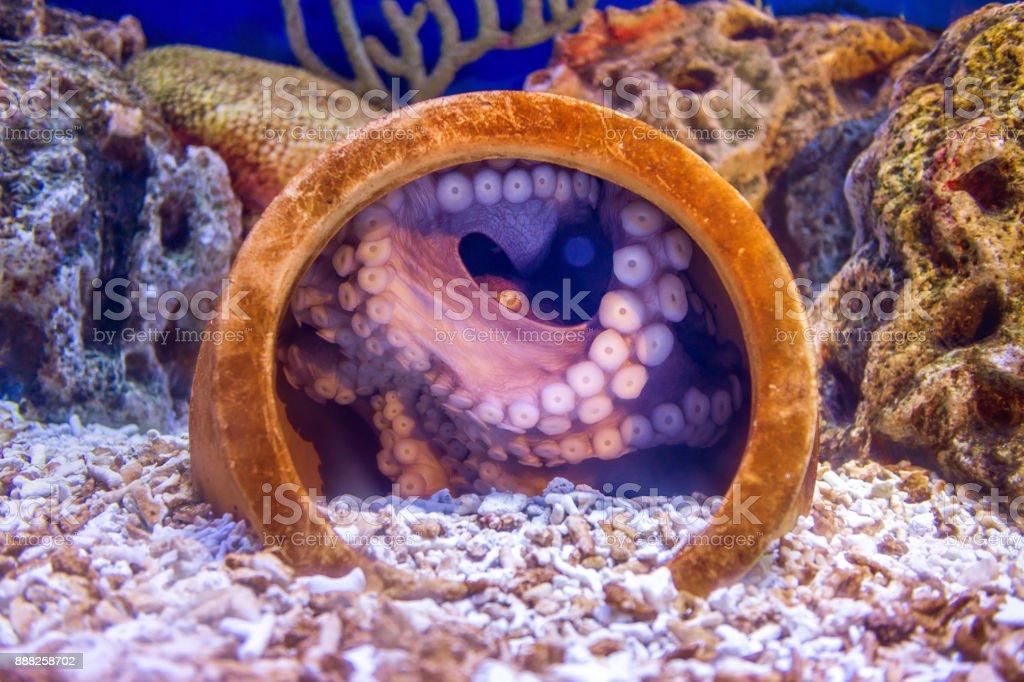 Octopus in water. stock photo