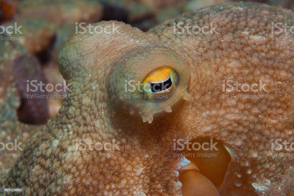 Octopus is camouflaged stock photo