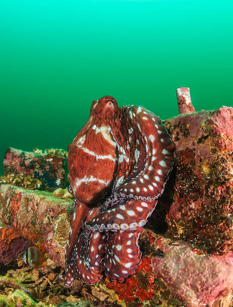 octopus on an artificial reef during a plankton bloom - artificial reef stock pictures, royalty-free photos & images