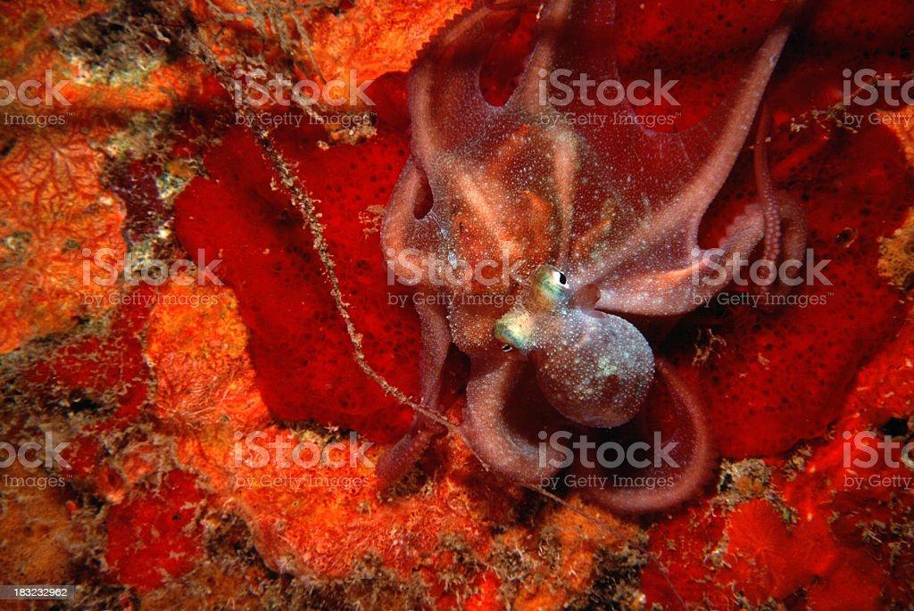 Octopus on Red Sponge stock photo