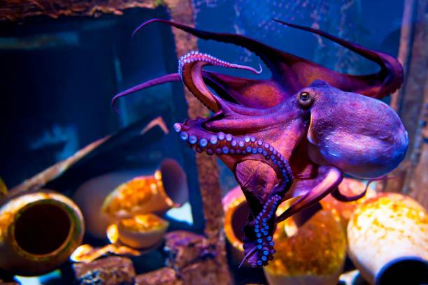 Octopus picture id1147309990?b=1&k=6&m=1147309990&s=612x612&w=0&h=fjm8zg1occ 1nwefnsnie1jpj9bk5hjfprmfgsrssaw=
