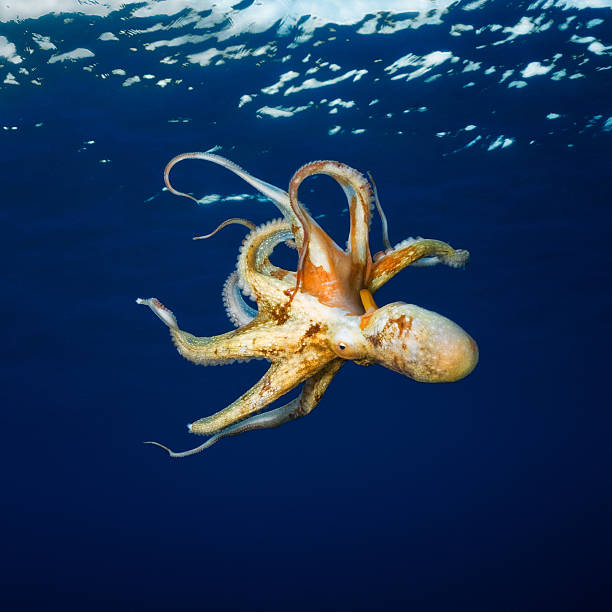 octopus - octopus stock pictures, royalty-free photos & images