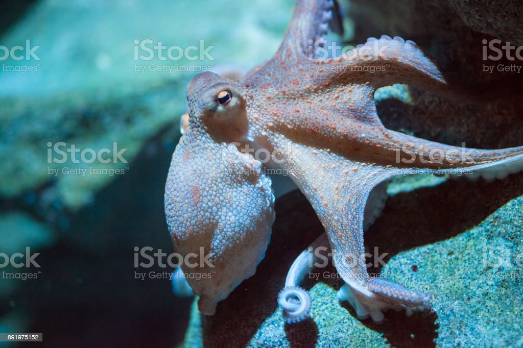 octopus an octopus moving in the water Animal Stock Photo