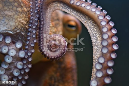 close-up of the tentacles of an octopus underwater
