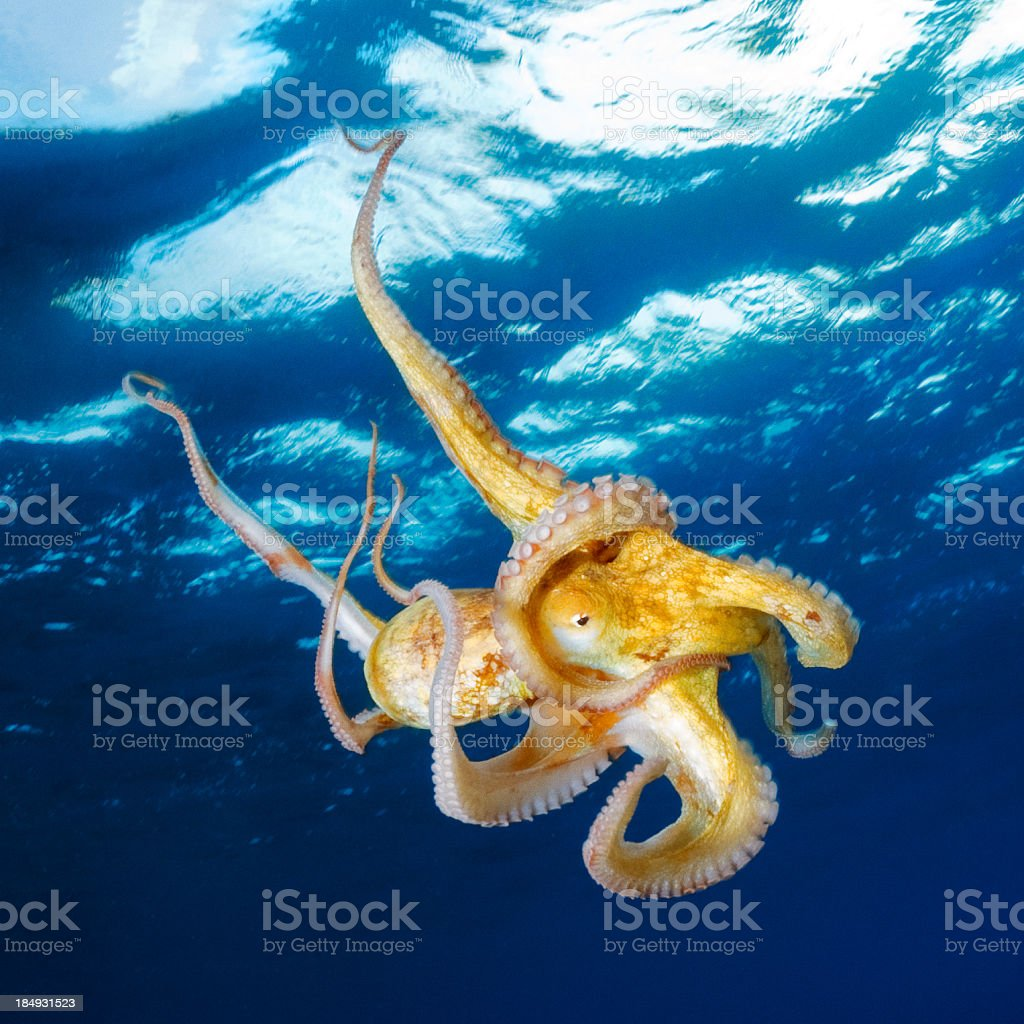 Octopus under the surface stock photo