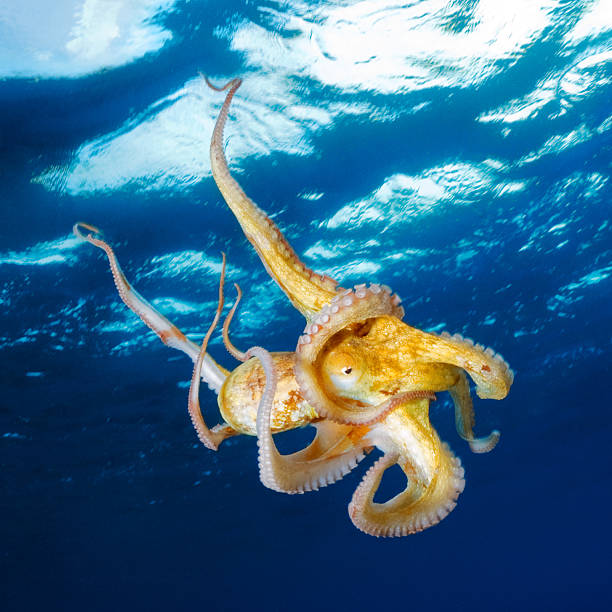 octopus under the surface - octopus stock pictures, royalty-free photos & images