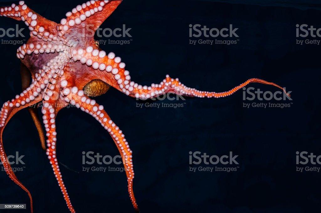 Octopus under water stock photo