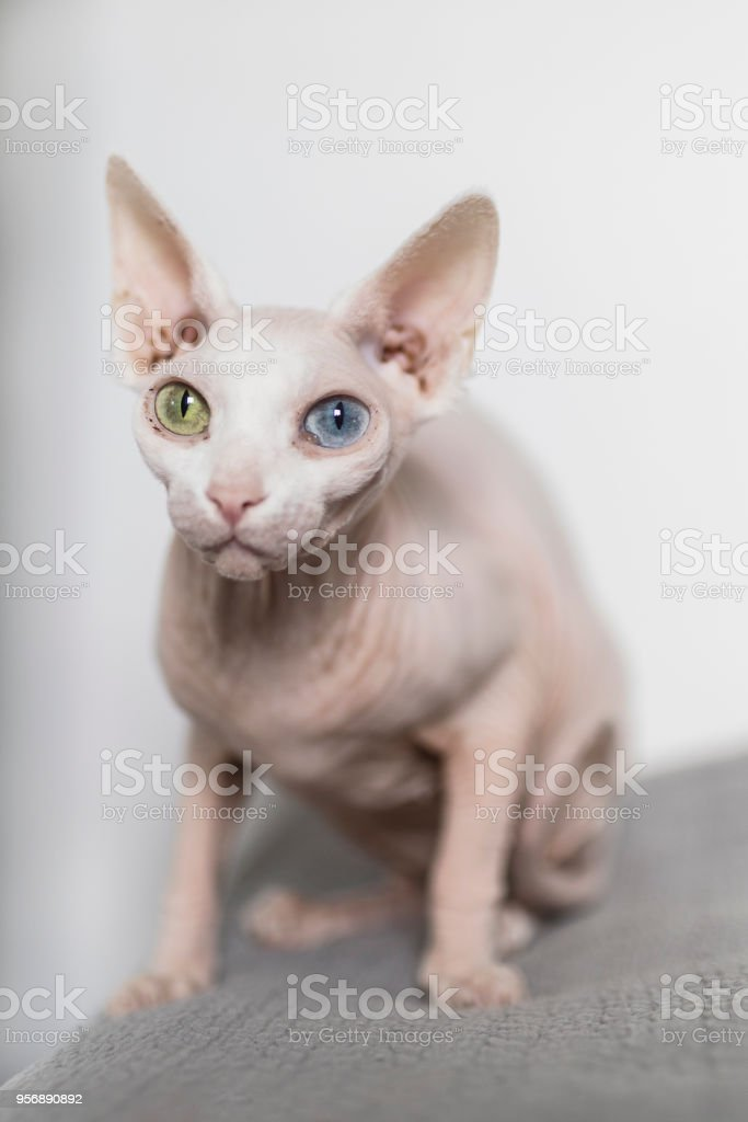 Odd Eyed White Hairless Sphynx Cat Stock Photo - Download