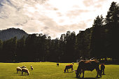 Captured in the beautiful valley of Khajjiar also known as the Mini Switzerland of India