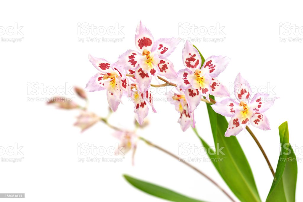 Odtdm. Mini Mutany 'Spring Fever' stock photo
