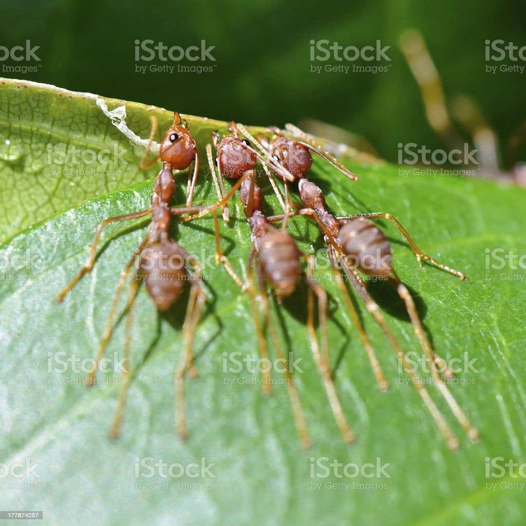 Oecophylla smaragdina ( Weaver Ant ) royalty-free stock photo