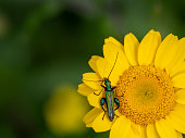 Aks Thick-legged flower beetle.