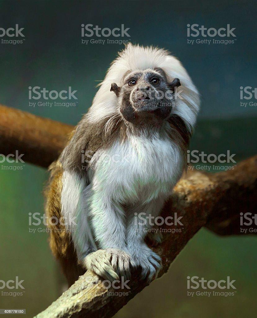 Oedipus Tamarin or monkey pinch stock photo