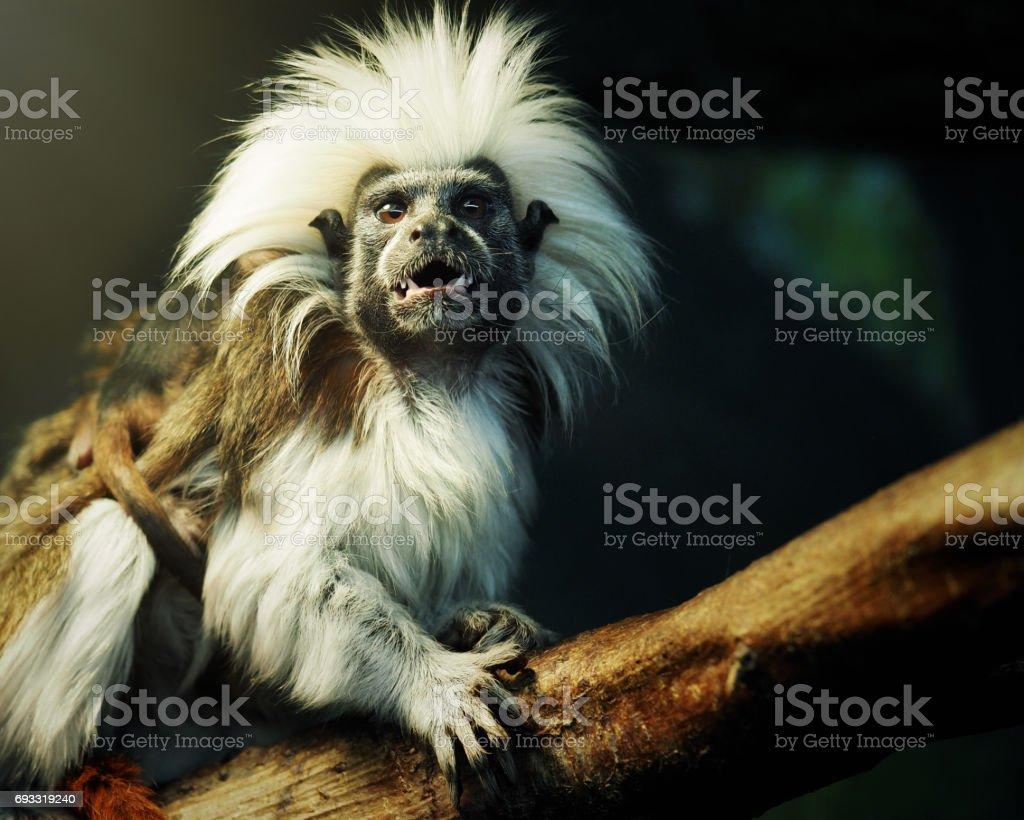 Oedipus Tamarin. Portrait of an unusual monkey stock photo