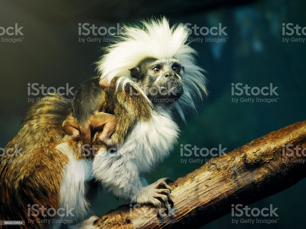 Oedipus Tamarin with a newborn baby on the back stock photo