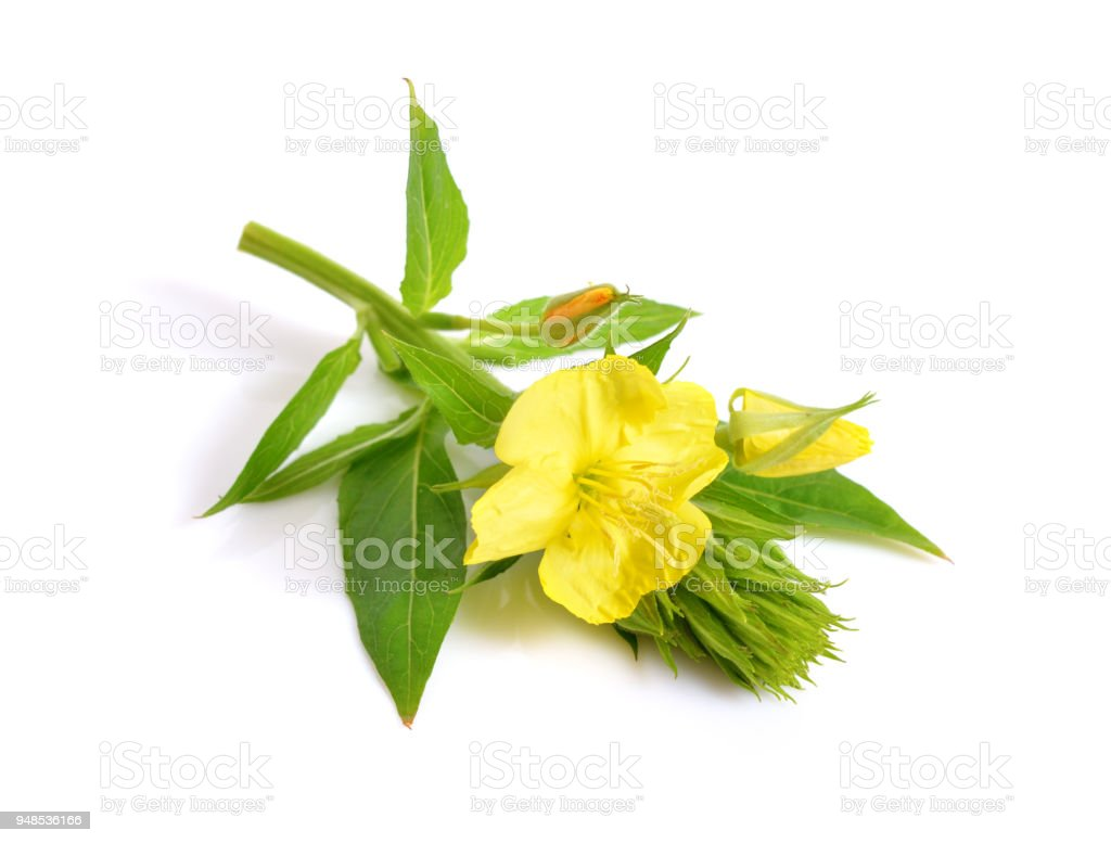 Oenothera. Common names include evening primrose, suncups, and sundrops. stock photo