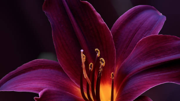 of red lily bloom outdoors. - stamen stock photos and pictures