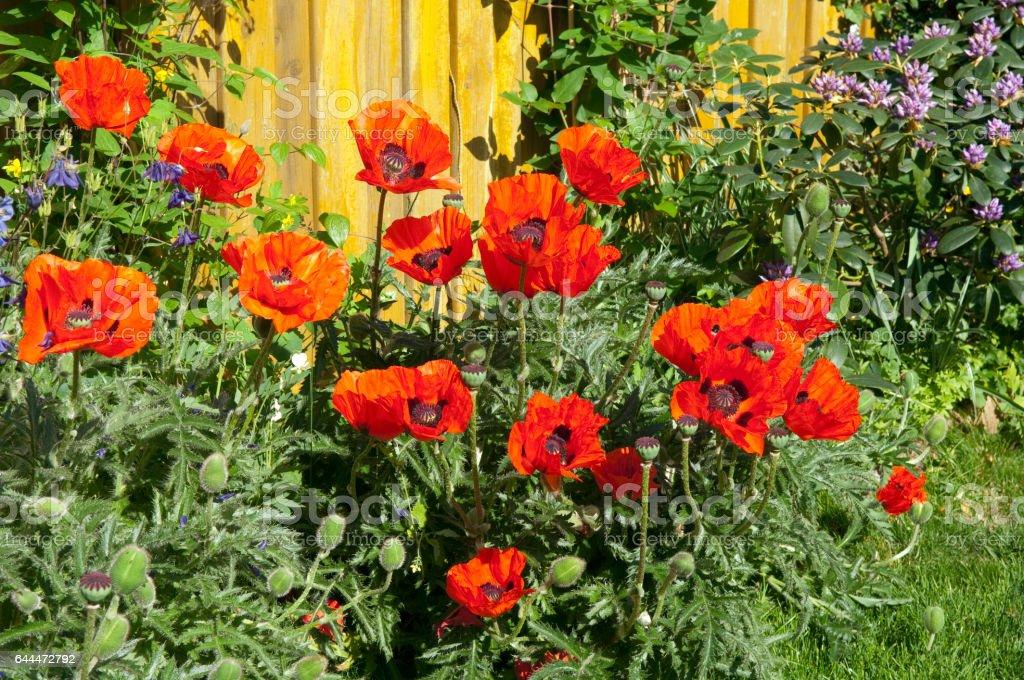 Of Turkish; poppy; Papaver orientale stock photo