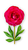 Offbeat rose flower. Composition of red rose with peony leaves. Art object on a white background. Minimalism.