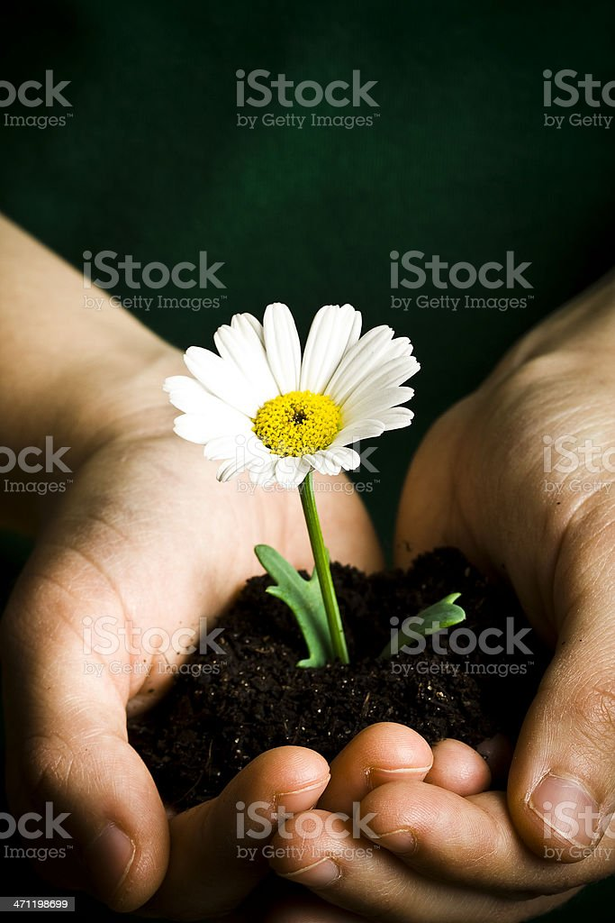 Offering a daisy stock photo