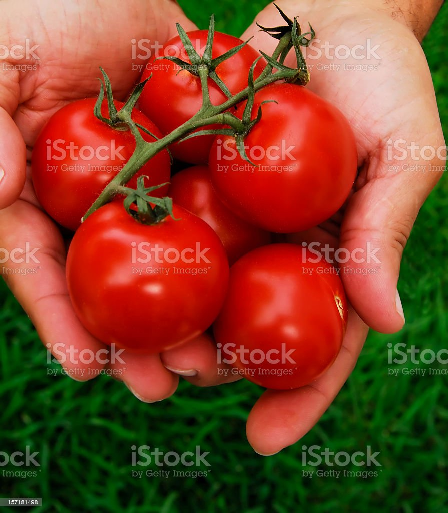 offering tomatoes royalty-free stock photo