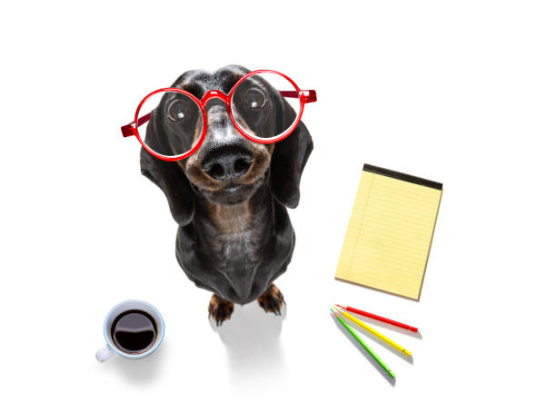 office worker businessman sausage dachshund dog stock photo