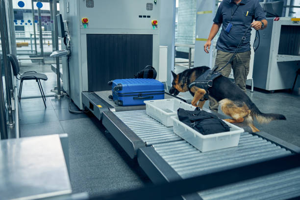 Officer and detection dog inspecting luggage in airport stock photo