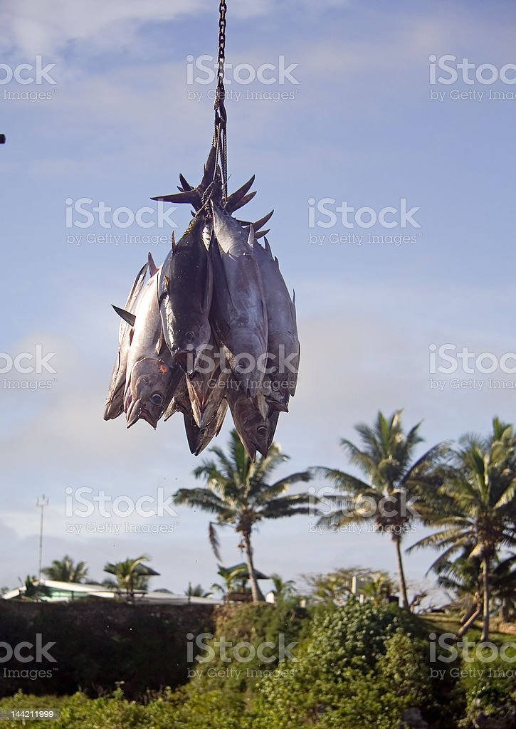 Offloading tuna from a fishing boat stock photo