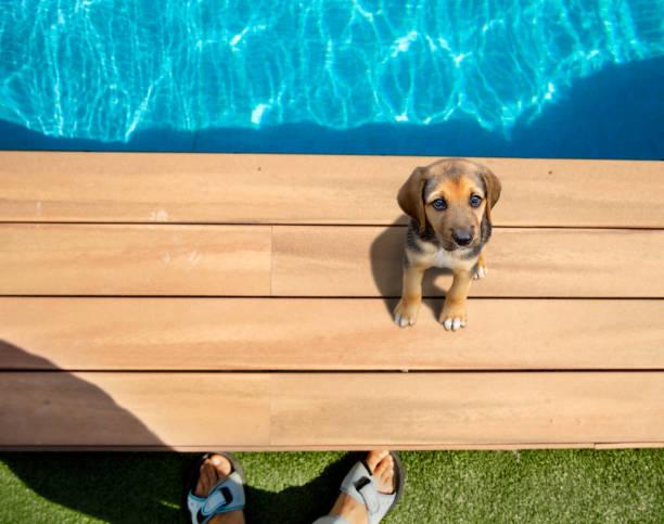 og aan de rand van het zwembad - dog looking at floor path stockfoto's en -beelden