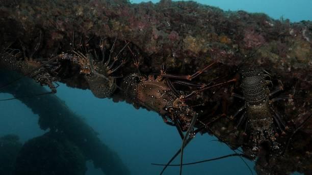 Ogasawara Spiny Lobster (Panulirus brunneiflagellum) stay in undersea shipwreck stock photo
