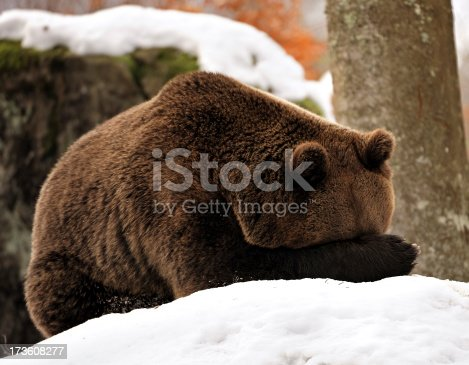 A brown bear hides his face by holding his paw in front of his head.