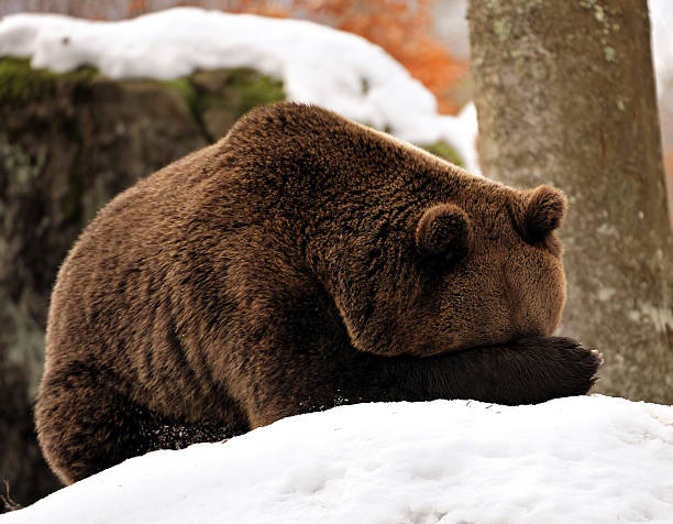 Oh my goodness. What a shame! A brown bear hides his face by holding his paw in front of his head. head in the sand stock pictures, royalty-free photos & images