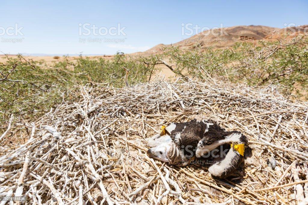 Ohrengeier Im Nest – Foto