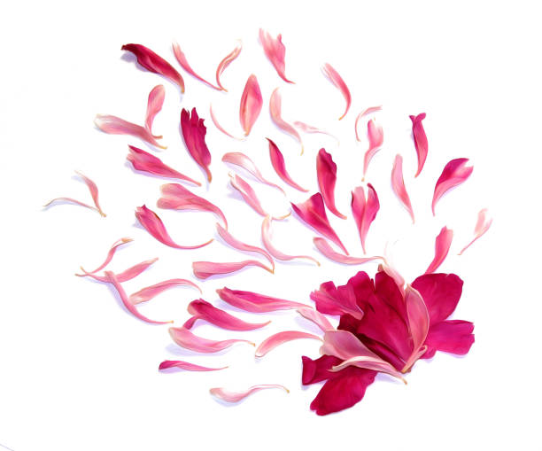 Oil draw perspective peony petals isolated on white picture id924375322?b=1&k=6&m=924375322&s=612x612&w=0&h=a4xcgbkb dtief tew5nfohliqgoelbjxvbcec2o2z4=