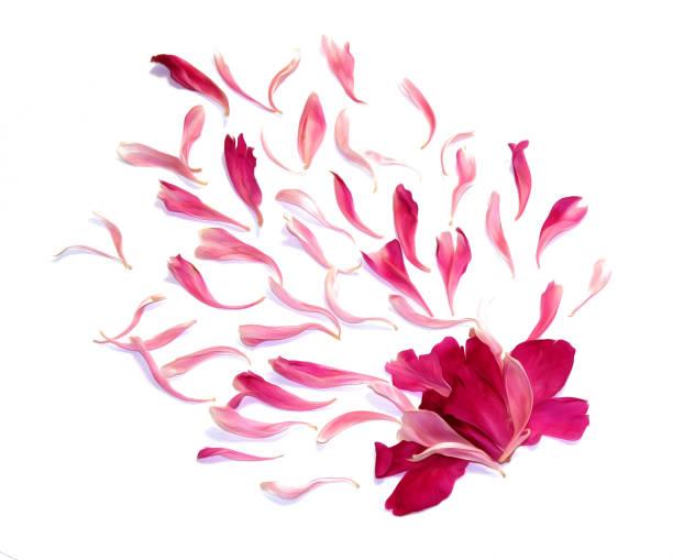 öl ziehen perspektive pfingstrose blütenblätter isoliert auf weiss - pfingstrosen pflege stock-fotos und bilder