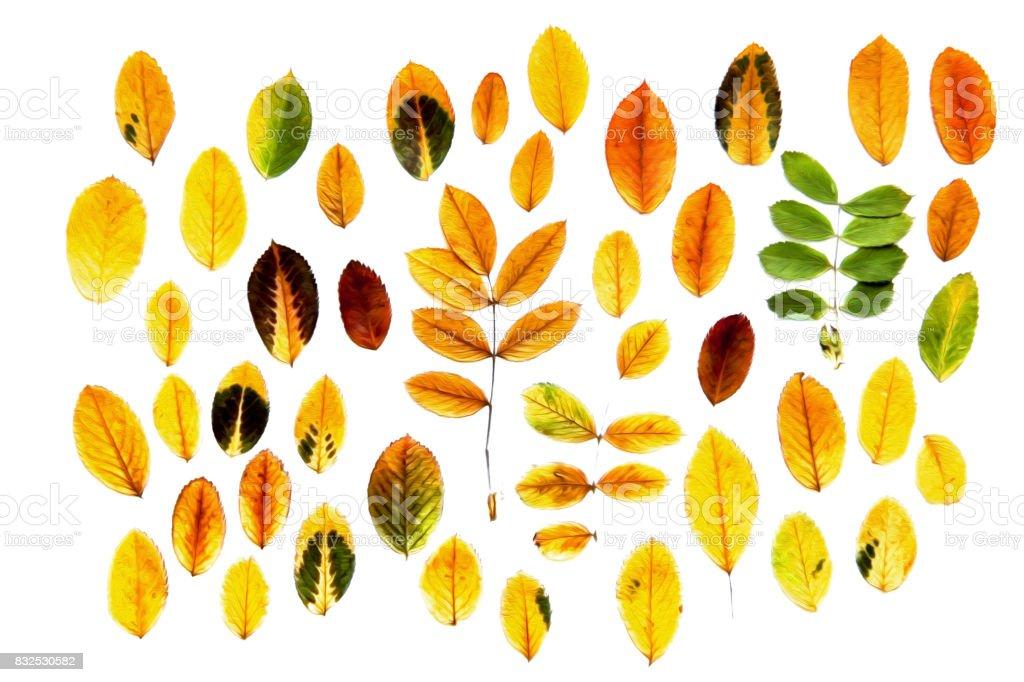 Olfarbe Trockenen Herbst Blatt Duftspiel Helle Farben Isolierte