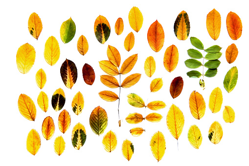 istock oil paint dry fall leaf rowanberry bright colors, isolated autumn leaves on white background for scrapbook, draw object 832530582