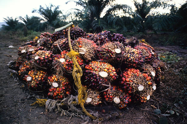 Oil Palm Harvest stock photo