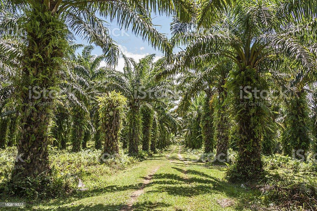 Oil palm plantation royalty-free stock photo