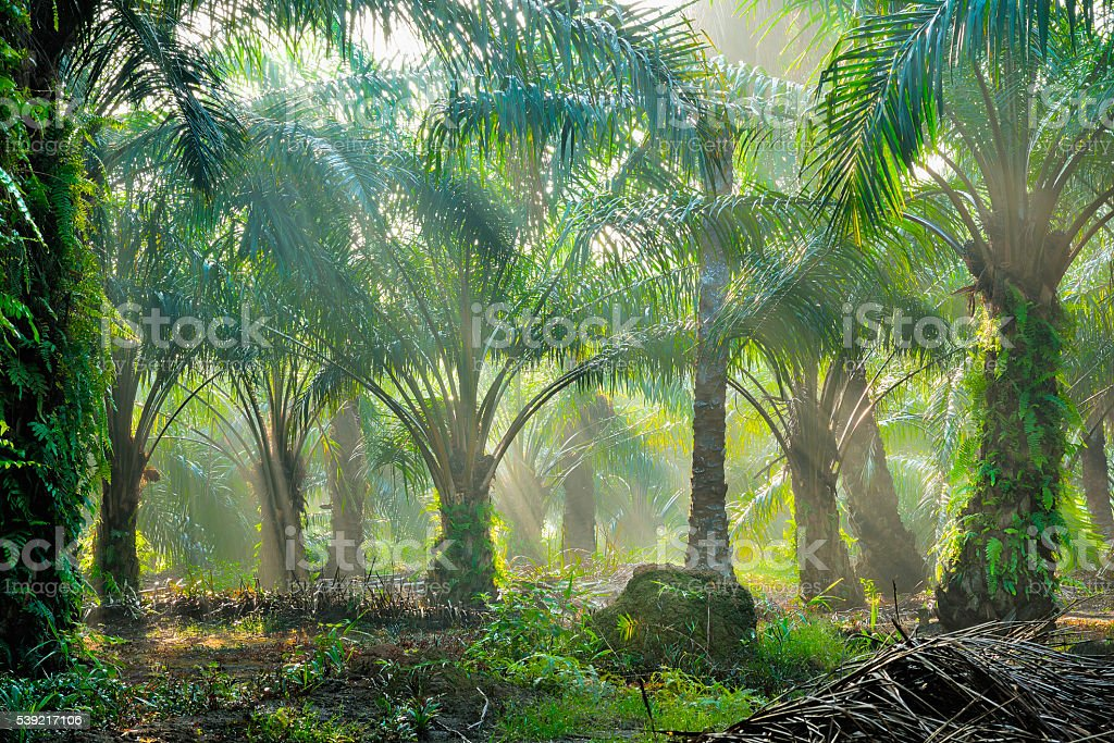 Oil Palm Plantation stock photo