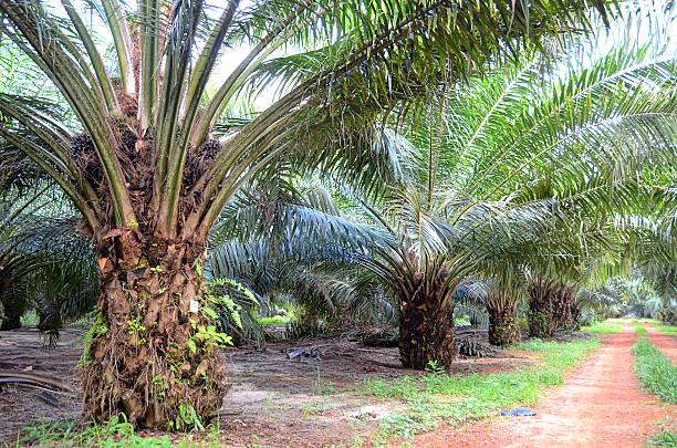 plantação de palma - oleo palma imagens e fotografias de stock