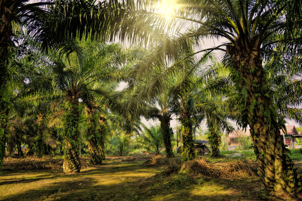 Oil Palm Plantation Morning sunlight passing through the oil palm trees. palm oil stock pictures, royalty-free photos & images