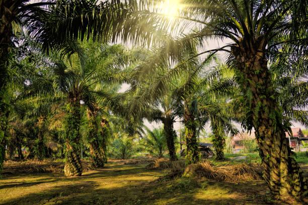 Oil Palm Plantation stock photo
